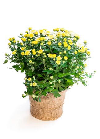 Pot of  yellow flowering chrysanthemums isolated on white