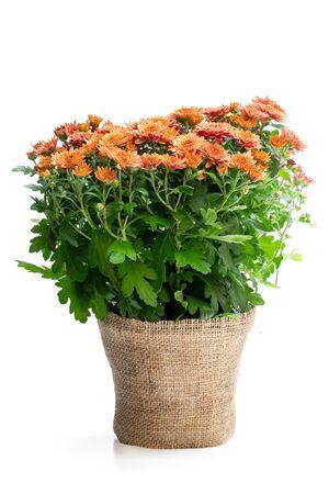 Pot of  orange flowering chrysanthemums isolated on white
