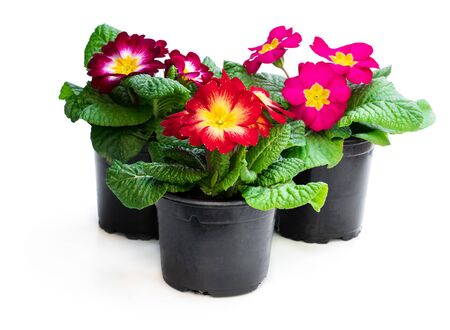 Colorful Primulas in black pots isolated on white