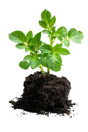 Potato  bush without flowers in soil isolated on white
