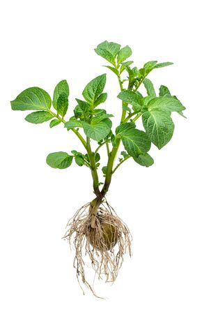 Potato  bush with tuber and roots isolated on white