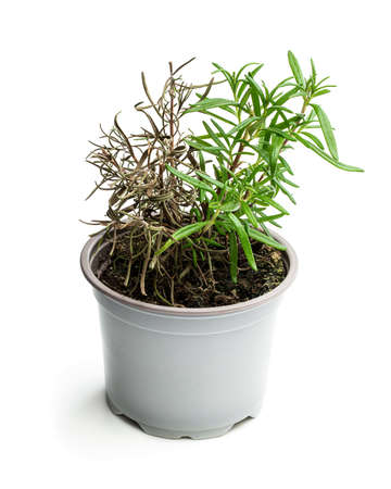 Half dead rosemary plant in gray pot isolated on white Stock Photo