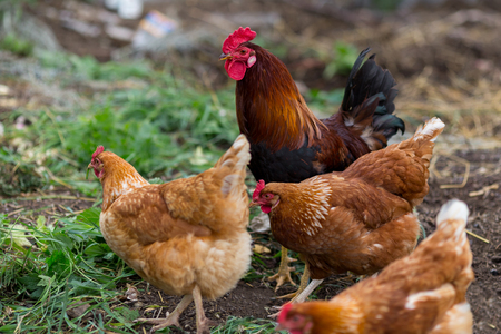 Hen and rooster feed on the traditional rural barnyard at sunny day. Free range poultry farming.