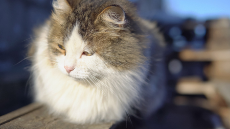 Fluffy cat is basking in the sun. 版權商用圖片