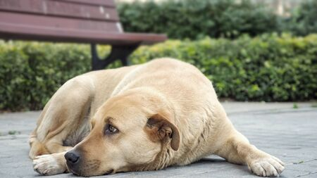 Sad looking dog lying in the sidewalk and looking around, close up Stock fotó