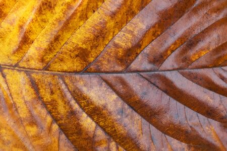 Close up of texture yellowed leaf of tree Standard-Bild