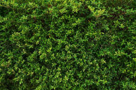 Living wall from the bush. Green background. Standard-Bild