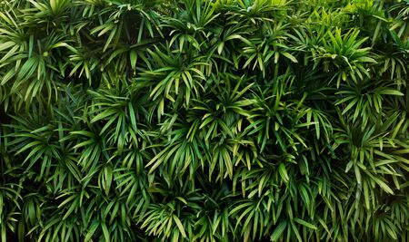 Wall of green branches with leaves. Tropical tree texture. Standard-Bild