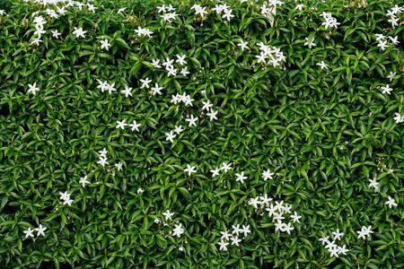 Wall of green leaves with white flowers.