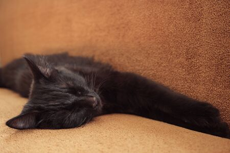 close up of cute sweet black cat sleeps on the couch at home Banque d'images