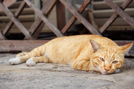 beautiful cat of white and orange colour lies on grey concrete near outdated brown wooden gate and looks around close view 版權商用圖片