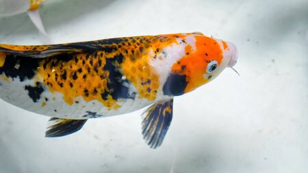 wonderful fish of orange black and white colours swims under trembling clear water in aquarium over blurry blue pipe closeup