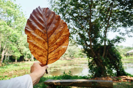 male hand holds a large dry yellow leaf of a tree on a lake background copy space.