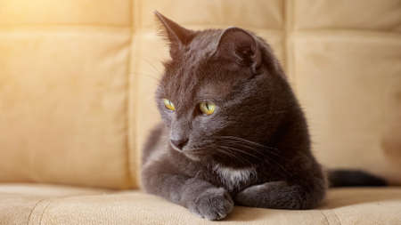 Close-up of a beautiful gray cat sitting on the edge of a beige sofa. Zdjęcie Seryjne
