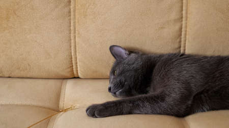 Close-up of gray cat sleeping on the sofa.