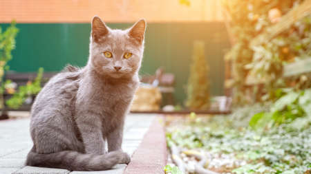 Lovely grey kitten with big orange eyes looks carefully into distance sitting against defocused yard with plants on background close view