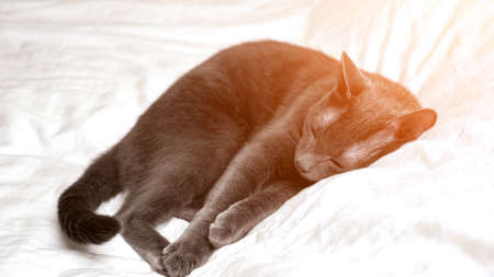 Beautiful gray cat is resting lying on a white blanket, sunlight