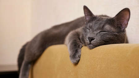 Close-up of a gray cat lying on the back of a sofa and waving its tail. 스톡 콘텐츠