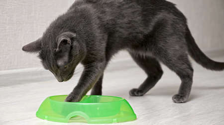 hungry gray cat eats from a green bowl and takes out food with its paw.