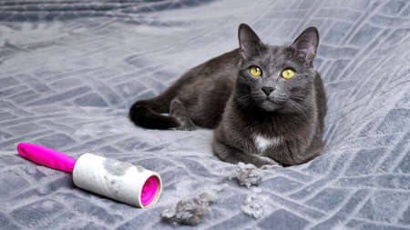 Adorable black cat lies near hair crumples and dirty lint removal roller, wagging tail on soft grey plaid on large bed in light room close view.