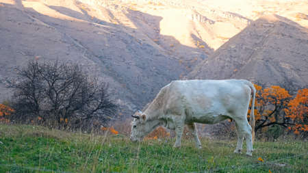 light cow grazes on a background of mountains on an autumn day. 스톡 콘텐츠