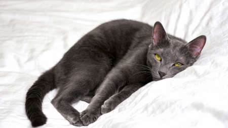 Beautiful gray cat is resting lying on a white blanket looking at camera 스톡 콘텐츠