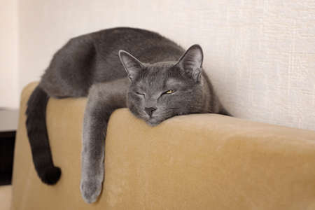 beautiful gray cat lies on the back of the sofa hugging her.