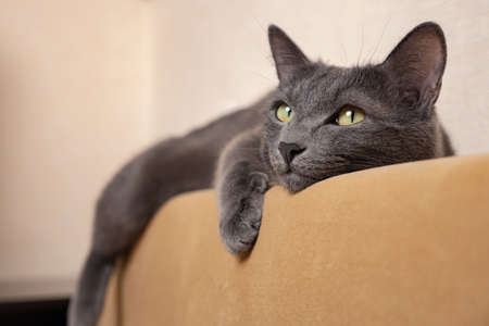 beautiful gray cat lies, dangling its paws, on the back of the sofa.