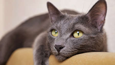 Close-up of a gray cat that lies and closes its eyes.