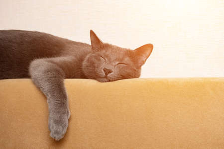 gray cat sleeps with its paws dangling on the back of a mustard-colored sofa, sunlight. Zdjęcie Seryjne