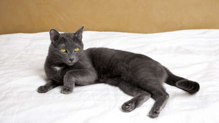 Young gray cat lies on a white blanket.