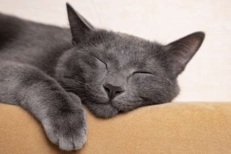 Close-up of a sleeping beautiful gray cat. Foto de archivo