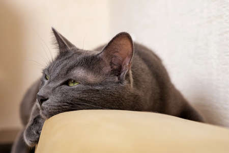 Close-up of a gray cat lying on the back of a sofa.