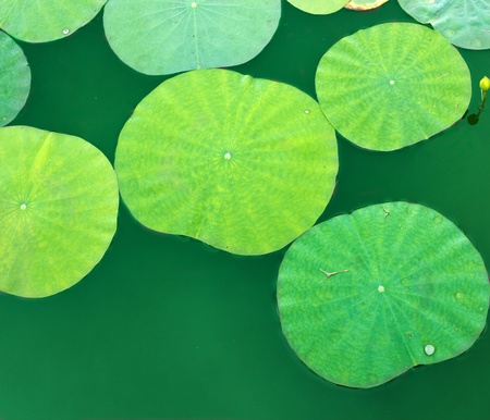 Lotus leaves  photo