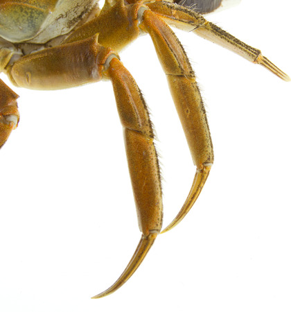 the claws: Crab Claws on white background