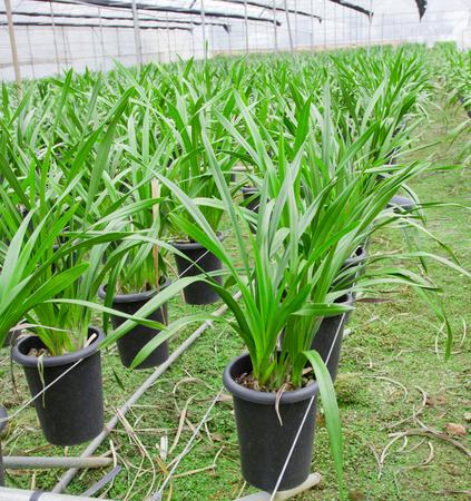 flower nursery: Greenhouse cultivating orchids flower nursery