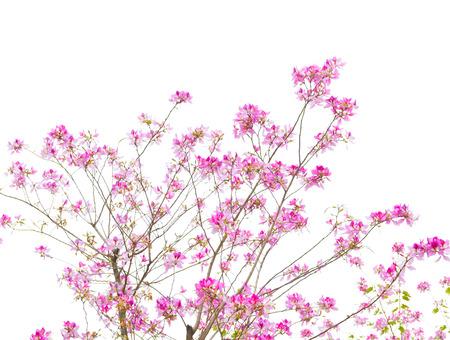 bauhinia purpurea tree blossoming in China photo