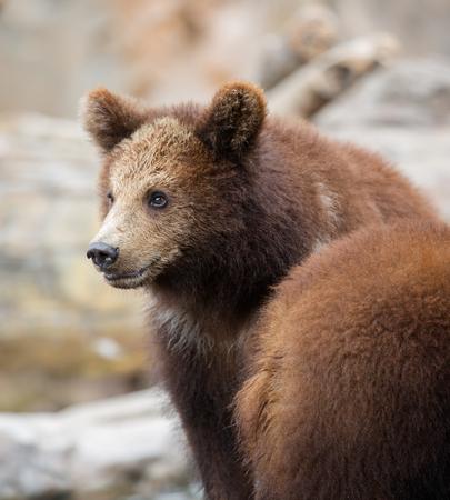 cruel: Brown bear Stock Photo