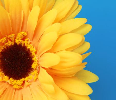 yellow gerbera isolated on: Yellow gerbera, isolated on blue background Stock Photo