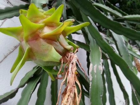 unripe: Unripe Dragon fruit hanging down the wall