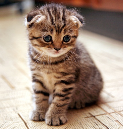 Funny curious Scottish fold kitten in play