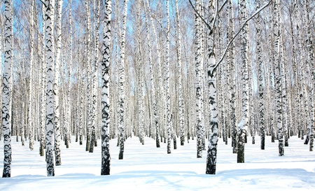 April blue sky in beautiful birch grove photo
