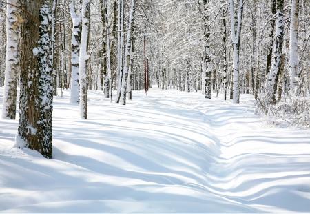 4 月美しい白樺林における経路 写真素材