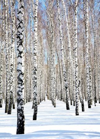 4 月白樺林の青い空