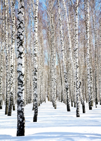 bosque con nieve: Cielo azul en abril Abedul blanco