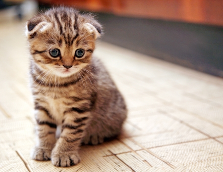an adorable: Funny curious Scottish fold kitten Stock Photo
