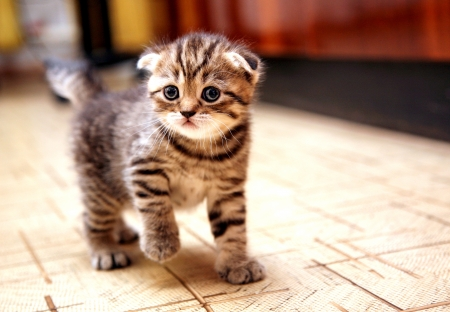 Curious striped scottish fold kitten going to play Stok Fotoğraf
