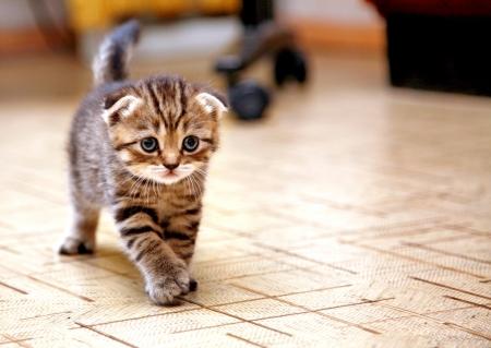 ストライプのスコティッシュフォールド子猫を再生