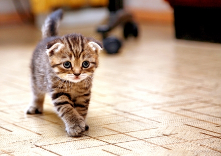 Striped scottish fold kitten playing