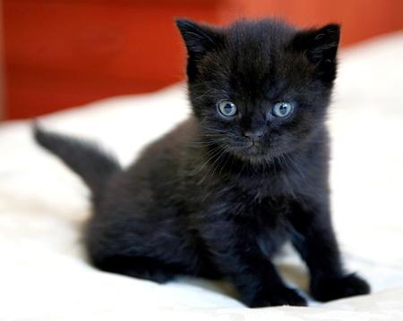 青い目を持つ黒いイギリス子猫 写真素材